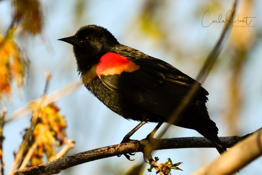 Red-winged Blackbird, Armstrong, BC
