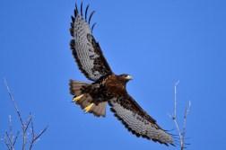 Rufous Morph Red-tailed Hawk