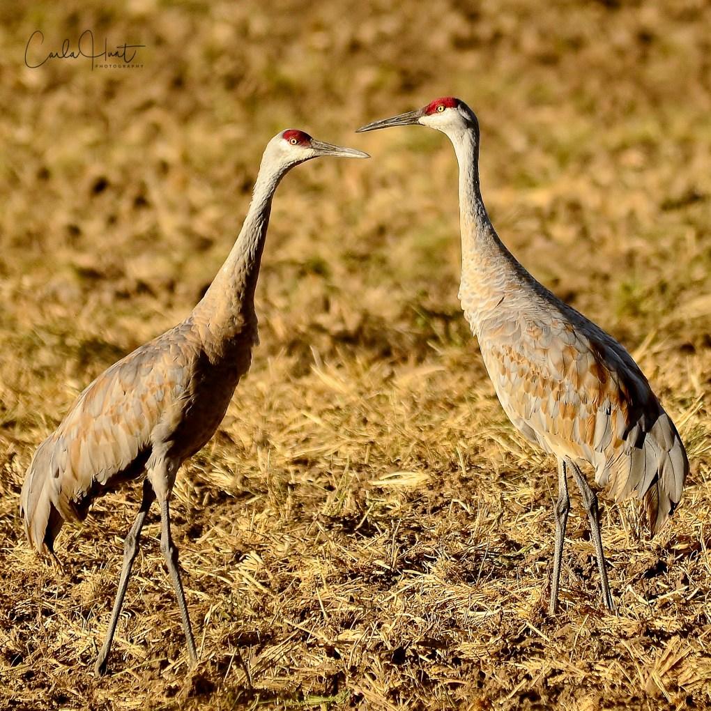 Sandhill Cranes, Enderby, BC