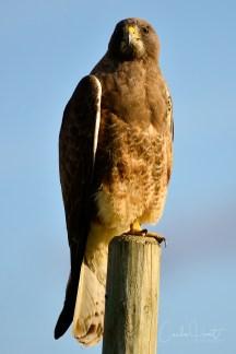 Swainson's Hawk, North BX, Vernon, BC