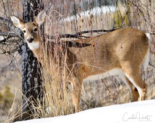 White-tailed deer, Coldstream, BC