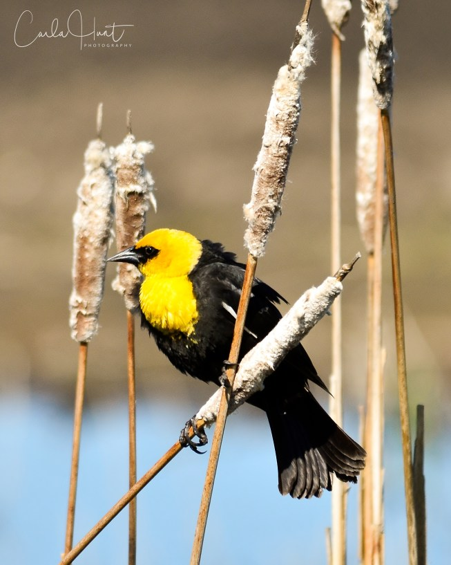 Yellow-headed Blackbird, Armstrong, BC