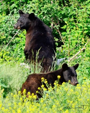 Black bears, Enderby, BC