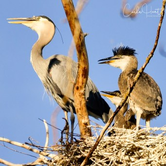 Great Blue Heron and Chicks, Vernon, BC