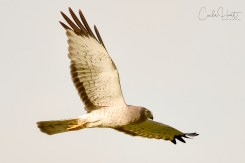 Northern harrier, Swan Lake Nature Reserve, Vernon, BC.