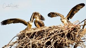 Three osprey chicks, Swan Lake, Vernon, BC