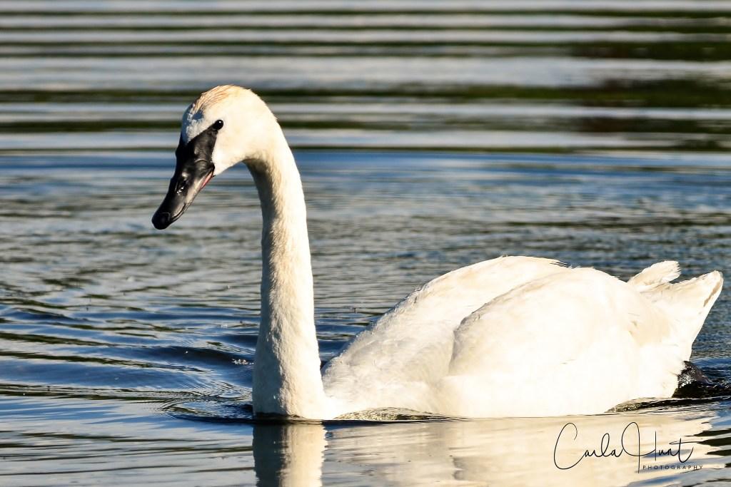 Trumpeter Swan-2413
