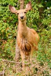 Mama deer at Bishop Wild Bird Sanctuary, Coldstream, BC
