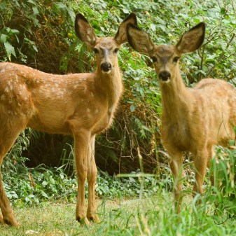 Fawns at Bishop Wild Bird Sanctuary, Coldstream, BC