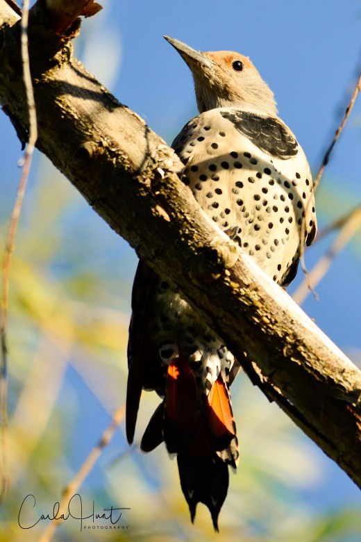 Northern Flicker, Okanagan Landing, Vernon, BC