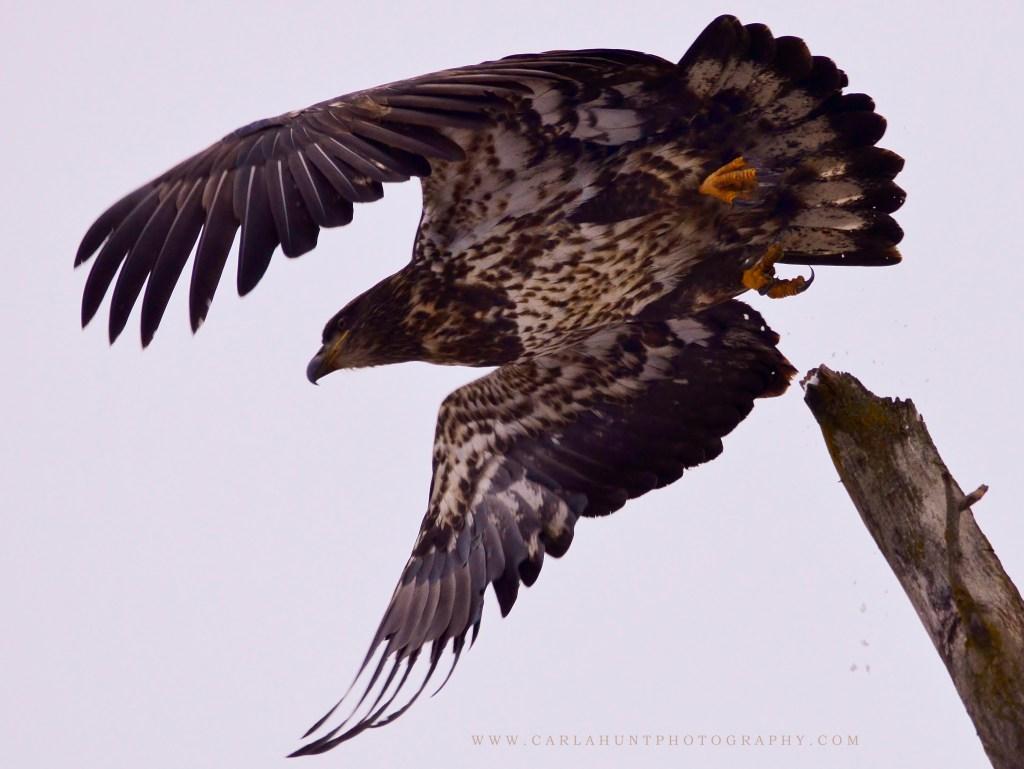 Bald or Golden Eagle Taking Flight