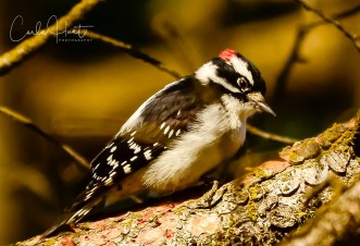 Downie Woodpecker, Coldstream, BC