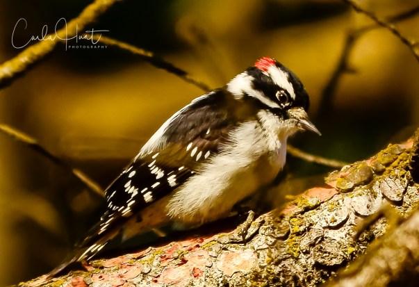 Downie Woodpecker, Coldstream, BC