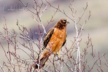 Northern Harrier, Swan Lake Nature Reserve, Vernon, BC