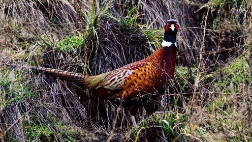 Ring-necked Pheasant, Coldstream, BC
