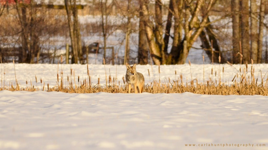Coyote trying to stay camouflaged in Coldstream, BC