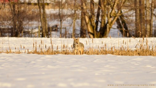 Coyote trying to stay camouflaged, Coldstream, BC