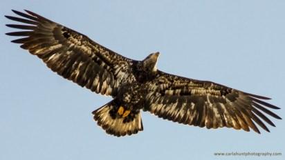 Immature Bald Eagle, Coldstream, BC
