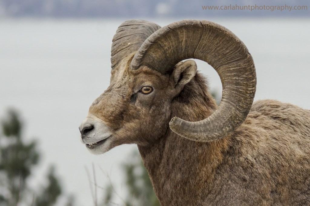 Bighorn Sheep, North Okanagan, BC