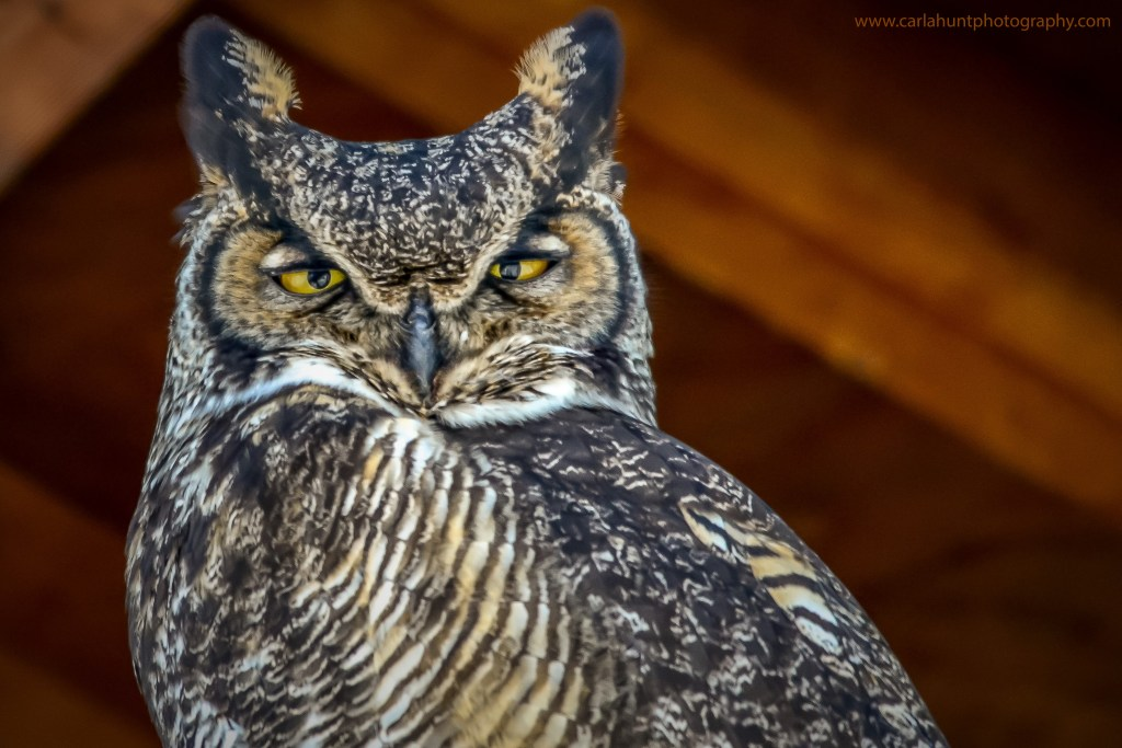 Great Horned Owl, Vernon, BC