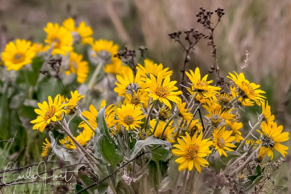 Arrowleaf Balsamroot, just starting to bloom around Vernon, BC. My favourite!