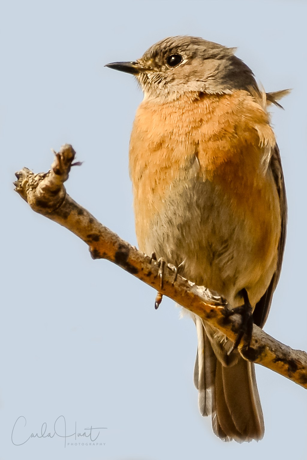 Female Western Bluebird, Vernon, BC