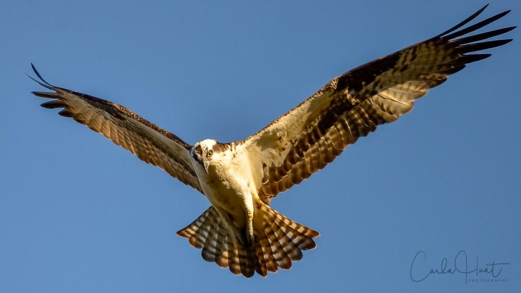 Osprey, Shuswap River, Enderby, BC