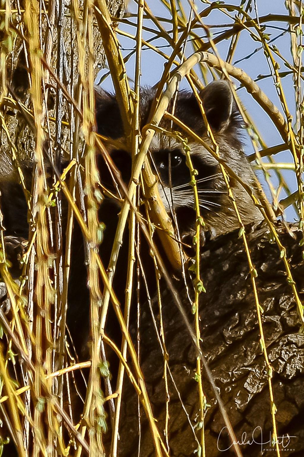 Raccoon, Vernon, BC