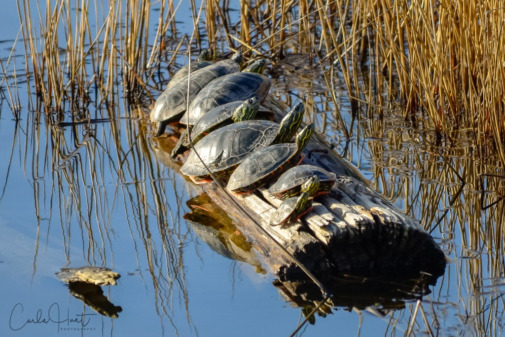 Spring has officially arrived! Western Painted Turtles, Vernon BC