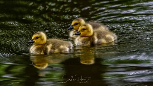 Cuteness Alert!! Goslings are out and about in Coldstream, BC