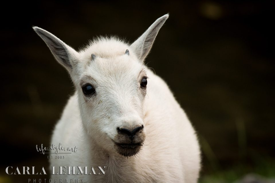 Baby Mountain Goat.  Alberta Photographer