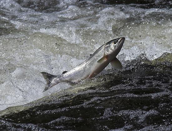 Saumon remontant une rivière
