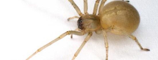 À Montréal, soyez attentifs à l'araignée jaune «Chiracanthium mildei»