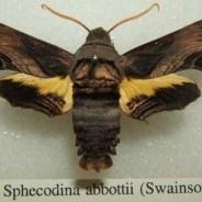 Sphinx d'Abbott : Développement de la fiche wikipédia