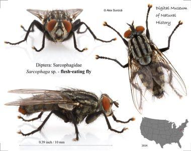 Diptera Sarcophagidae