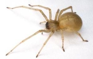 Cliquez sur l'image pour lire mon article sur l'araignée Chiracanthium mildei