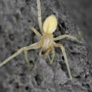 Cheiracanthium mildei : Développement de la fiche wikipédia