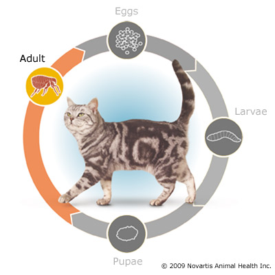 flea_lifecycle_cat_adult