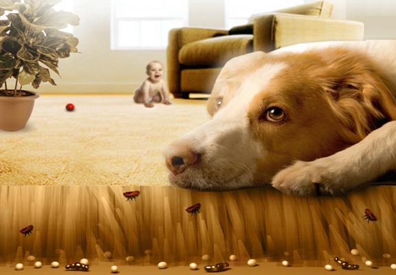 Comment se débarrasser d'une infestation de puces dans un appartement?