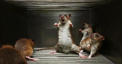 Une expérience démontrant la hiérarchie chez les rats