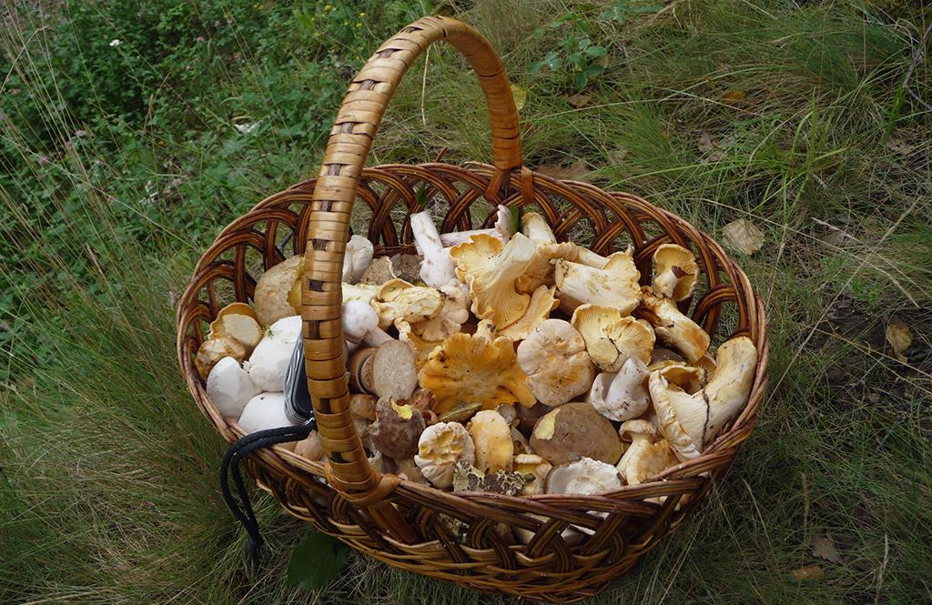 Le top 10 des champignons sauvages et comestibles au Québec