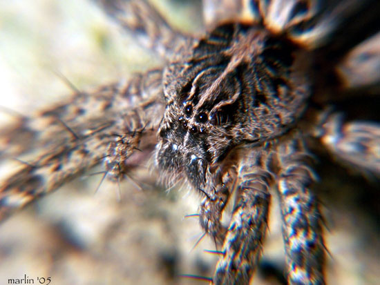 fishing_spider_Dolomedes