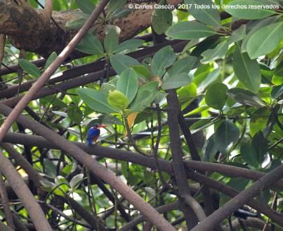 Kingfisher malachite, Ramisi river