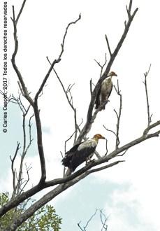 Palm-nut Vulture. Ramisi river, Funzi