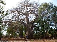 Baobab en Funzi Village