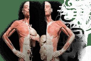 Bodies Exhibition