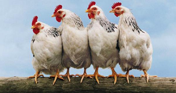 Image result for hens