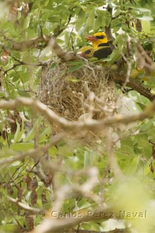 Pareja de oropéndolas en el nido