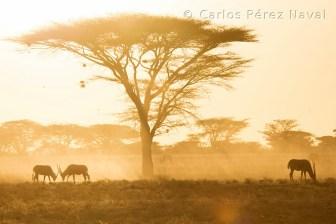 Orix al amanecer peleando bajo una acacia en Samburu