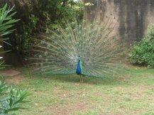 Cuban Peacock